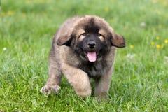 Spanish Mastiff Stock Images