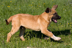 Spanish Mastiff Stock Image