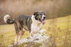 Portrait of a Mastiff Dog. Spanish Mastiff dog outdoor portrait on nature stock photography