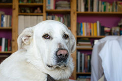 Spanish Mastiff lying on sofa with library on background Stock Photos