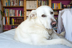 Spanish Mastiff lying on sofa with library on background Stock Photo