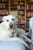 Spanish Mastiff lying on sofa with library on background Stock Photography