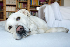 Spanish Mastiff lying on sofa with library on background Royalty Free Stock Photo