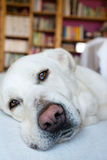 Spanish Mastiff lying on sofa with library on background Royalty Free Stock Photography