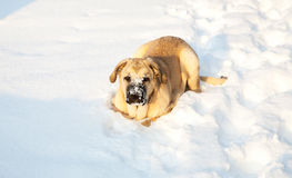 Spanish mastiff in snow in the winter Royalty Free Stock Photo