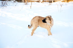 Spanish mastiff in snow in the winter Stock Photography