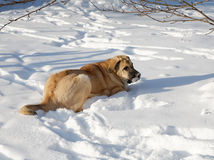 Spanish Mastiff in snowdrift  day Stock Photography