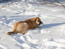Spanish Mastiff in snowdrift Stock Photos