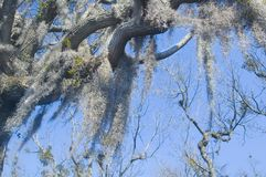 Spanish moss. Hangs from old cypress tree Stock Images