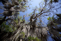 Spanish Moss Royalty Free Stock Images