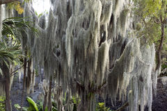 Spanish Moss Stock Image