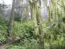 Spanish Moss. Hanging in the rainforest at deception pass state park in washington state USA stock photo