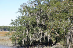 Spanish Moss 3 stock photo