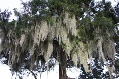 Spanish moss. Crown of the trees covered with Spanish moss Royalty Free Stock Photography