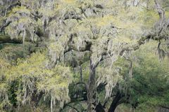 Spanish moss. Draped in trees in South Carolina Stock Images