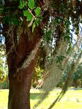 Spanish Moss. Is actually a bromeliad and not a moss at all.  Here it hangs from a tree in New Smyrna Beach, Florida Royalty Free Stock Photography