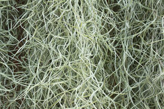 Spanish Moss background. (Tillandsia usneoides Stock Photo