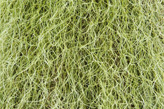 Spanish Moss background Stock Images