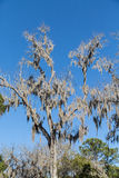 Spanish Moss in Bare Tree Under Blue Skies Royalty Free Stock Photography