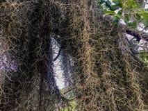 Spanish Moss stock image