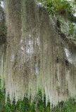Spanish Moss Royalty Free Stock Photo