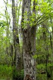 Spanish Moss. Close up of some Spanish moss on a tree in the swamp bayou of Louisiana stock photos