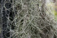 Spanish moss close up stock photography