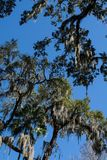 Spanish moss covered trees against bright blue sky royalty free stock image