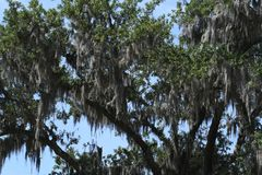 Spanish Moss covered trees at Savannah Georgia historic cemetery. Spanish moss dripping from trees at a historic cemetery in Savannah Georgia stock image
