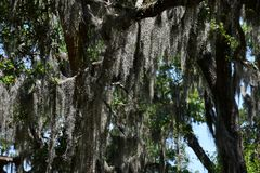 Spanish Moss covered trees at Savannah Georgia historic cemetery. Spanish moss dripping from trees at a historic cemetery in Savannah Georgia stock photography