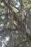 Spanish Moss Covering a Tree Royalty Free Stock Image