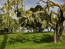 Spanish moss draped cypress trees. Spanish moss hangs from branches of Monterey Cypress trees on the Monterey Peninsula in California Royalty Free Stock Photos