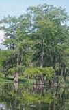 Spanish moss draped Cypress Trees Stock Image