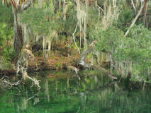Spanish Moss Draped Trees on the Bank of Southern Stream Stock Photography