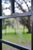 Spanish moss in fence Stock Photography