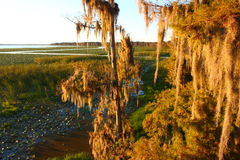 Spanish Moss in Florida. Spanish Moss sways in the wind in a swamp of central Florida Stock Images