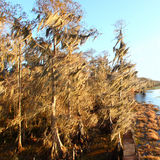 Spanish Moss in Florida Stock Photo