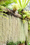 Spanish Moss,Grass air leave in garden Stock Images