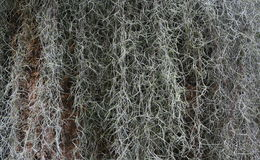 Spanish Moss Stock Photo