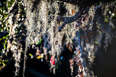Spanish moss growin on a tree at the plantation Royalty Free Stock Photography