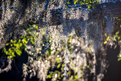 Spanish moss growin on a tree at the plantation Royalty Free Stock Images