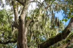 Spanish Moss Growing in Old Oak Tree Royalty Free Stock Photos