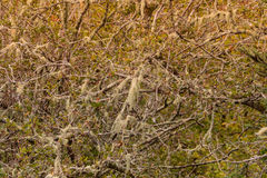 Spanish moss growing on tree Royalty Free Stock Images