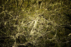 Spanish moss growing on tree Royalty Free Stock Photography