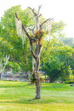 Spanish moss hang on dry tree Royalty Free Stock Photo