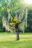 Spanish moss hang on dry tree Stock Photography