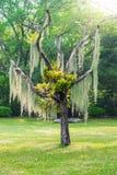 Spanish moss hang on dry tree Stock Photography