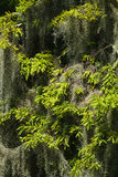 Spanish Moss Hanging In A Cypress Tree Close Up Stock Images