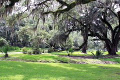 Spanish Moss Hanging from Live Oak Trees Royalty Free Stock Images
