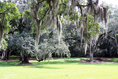 Spanish Moss Hanging from Trees in a Meadow Royalty Free Stock Images